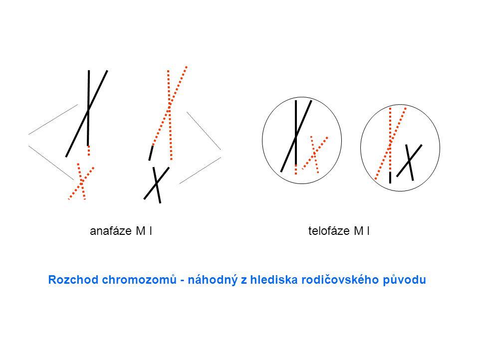 anafáze M I telofáze M I Rozchod chromozomů - náhodný z hlediska rodičovského původu