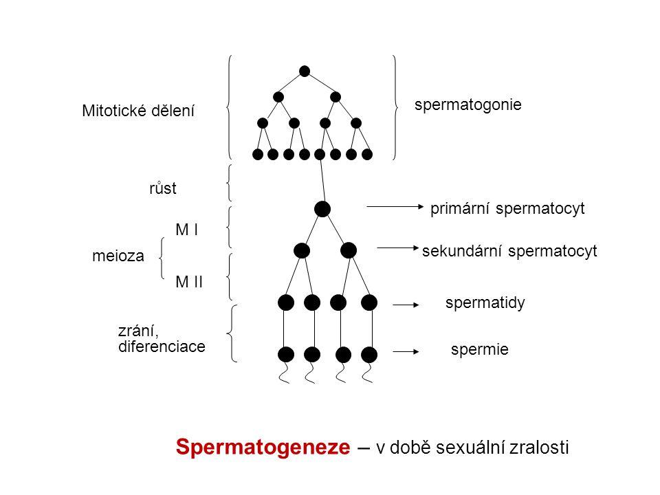 Spermatogeneze – v době sexuální zralosti