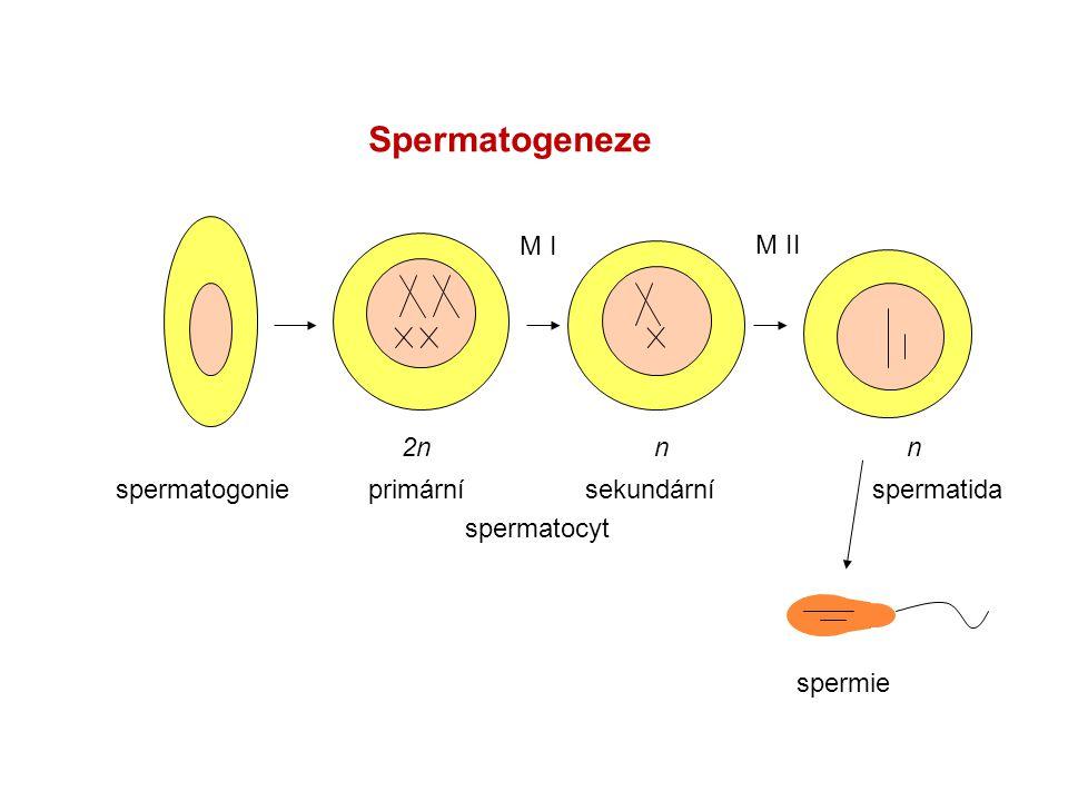 Spermatogeneze M I M II 2n n n spermatogonie spermatida