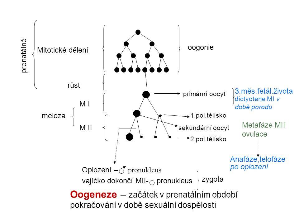 Oogeneze – začátek v prenatálním období