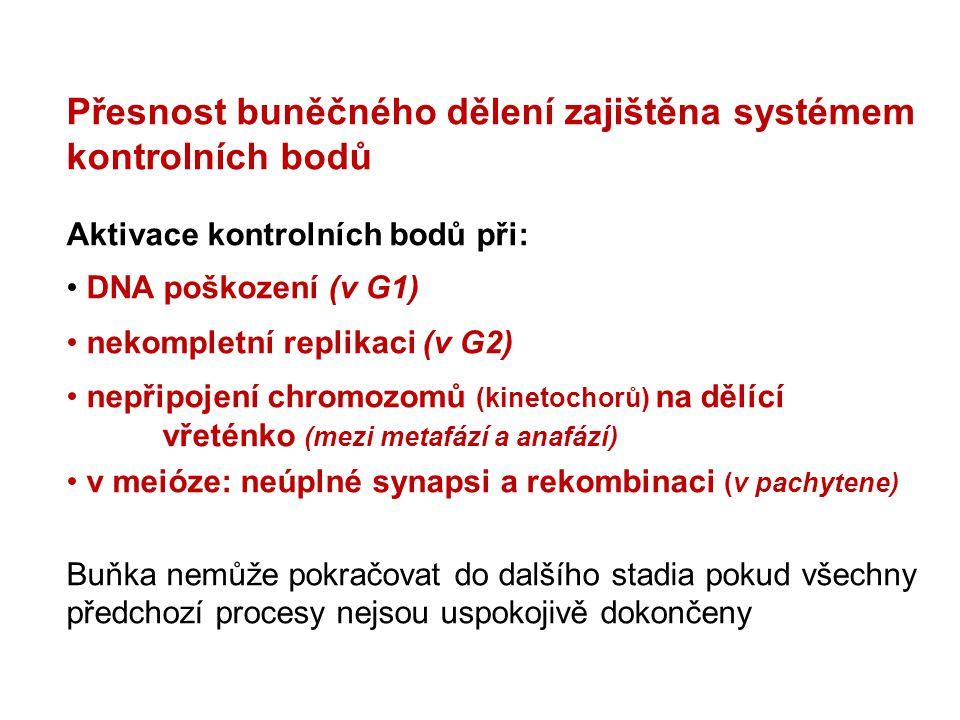 Přesnost buněčného dělení zajištěna systémem kontrolních bodů