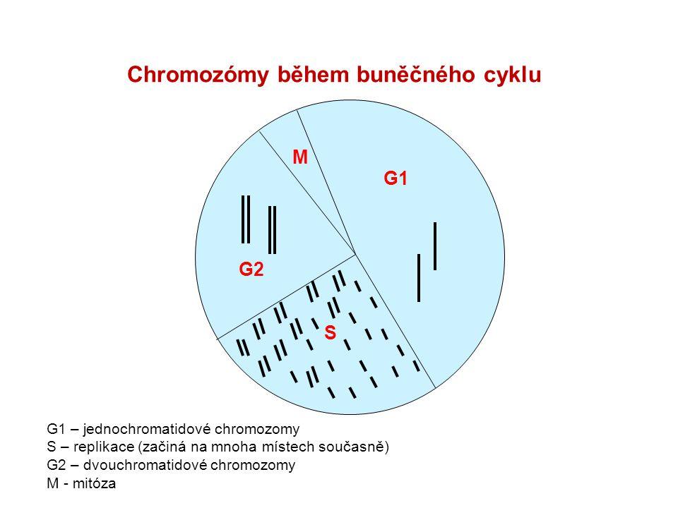 Chromozómy během buněčného cyklu