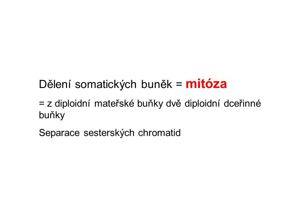 Dělení somatických buněk = mitóza