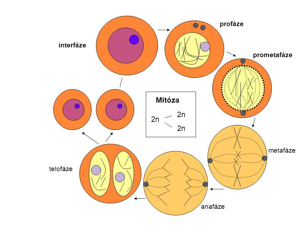 profáze interfáze prometafáze Mitóza 2n 2n metafáze telofáze anafáze