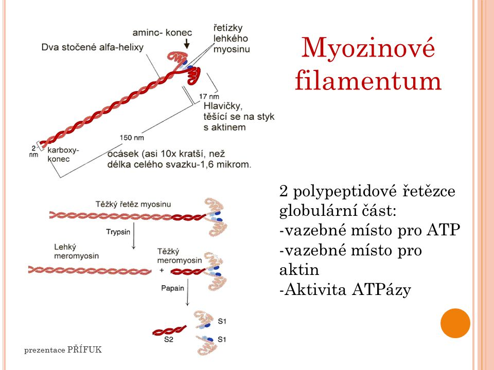Myozinové filamentum 2 polypeptidové řetězce globulární část: