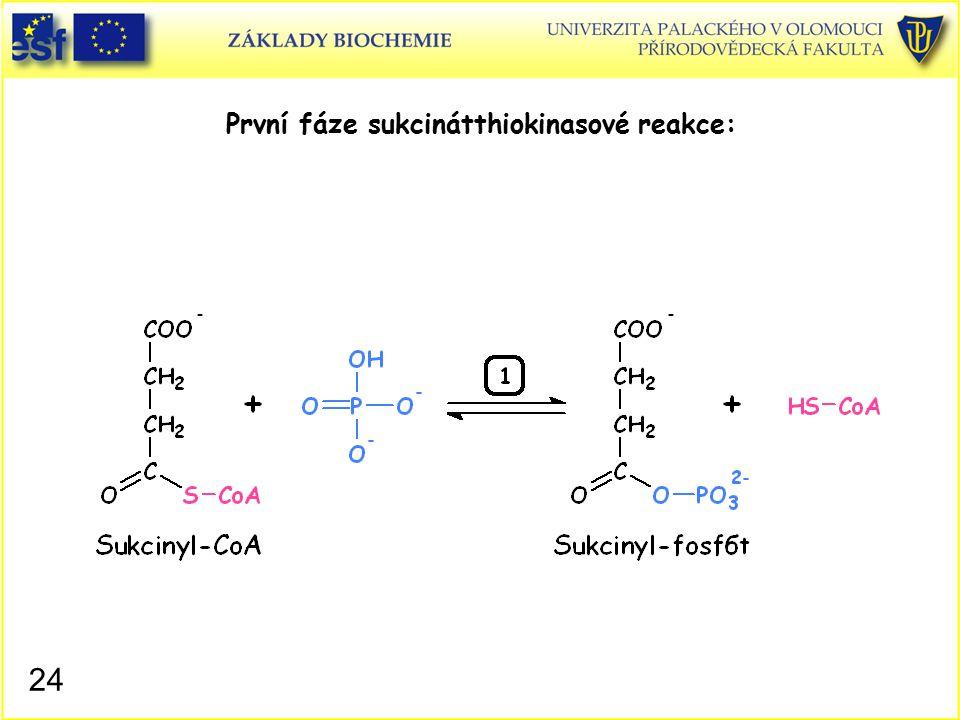 První fáze sukcinátthiokinasové reakce: