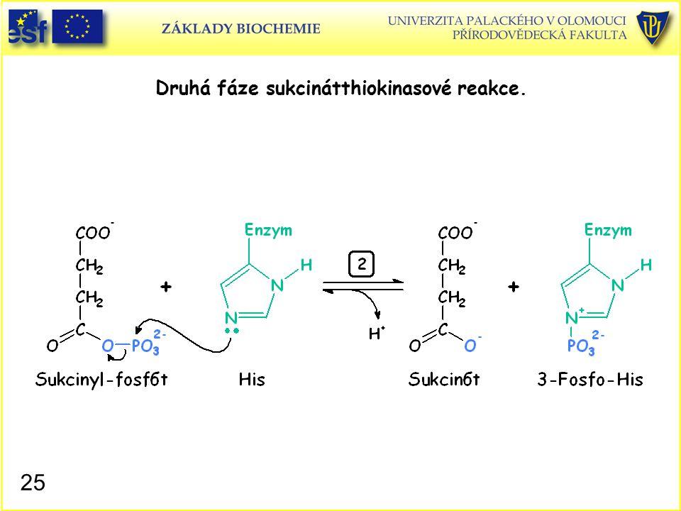 Druhá fáze sukcinátthiokinasové reakce.