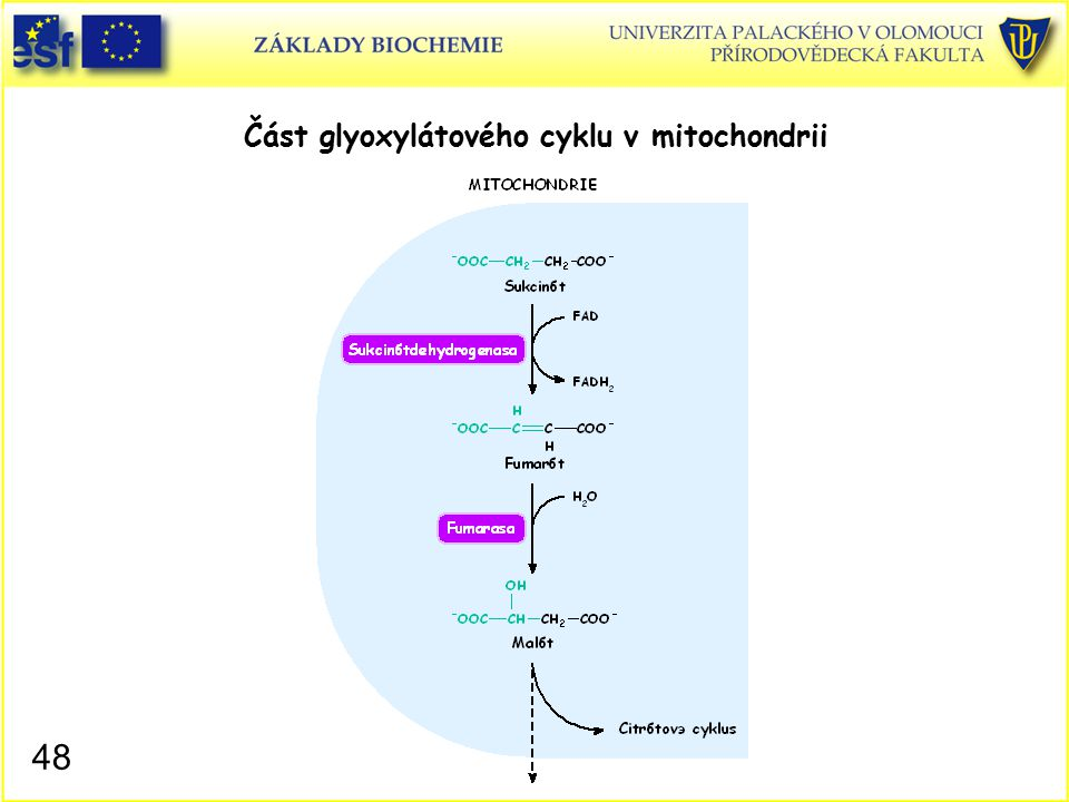 Část glyoxylátového cyklu v mitochondrii