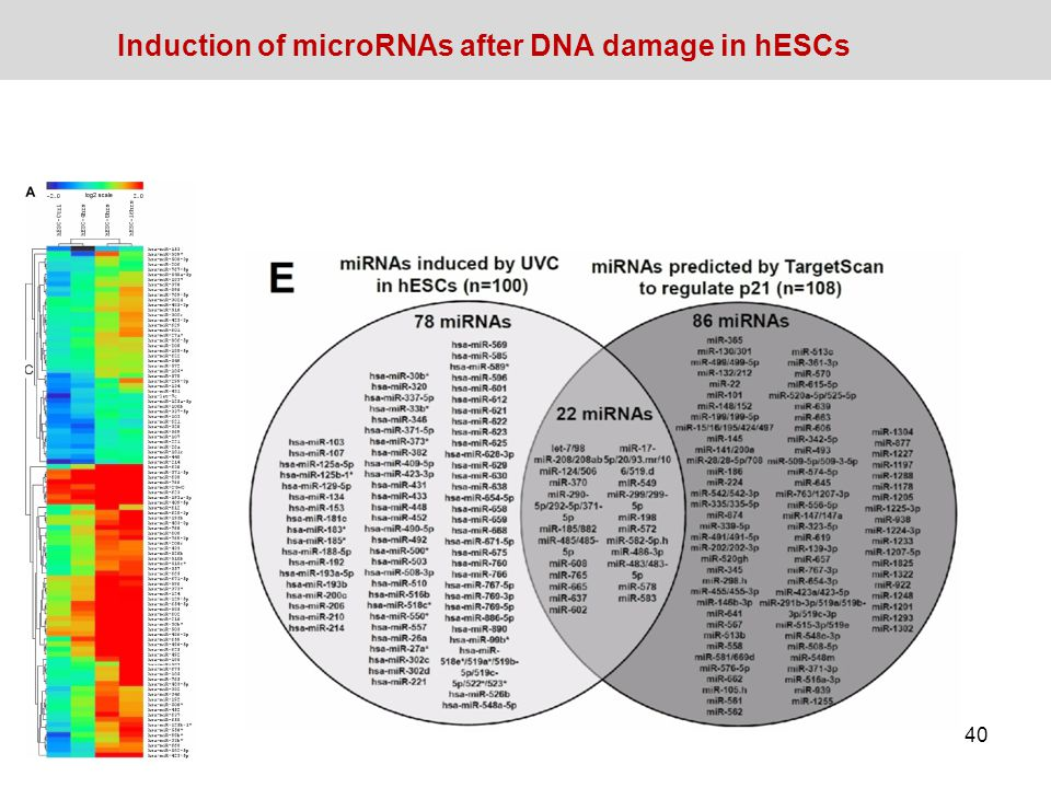 Induction of microRNAs after DNA damage in hESCs