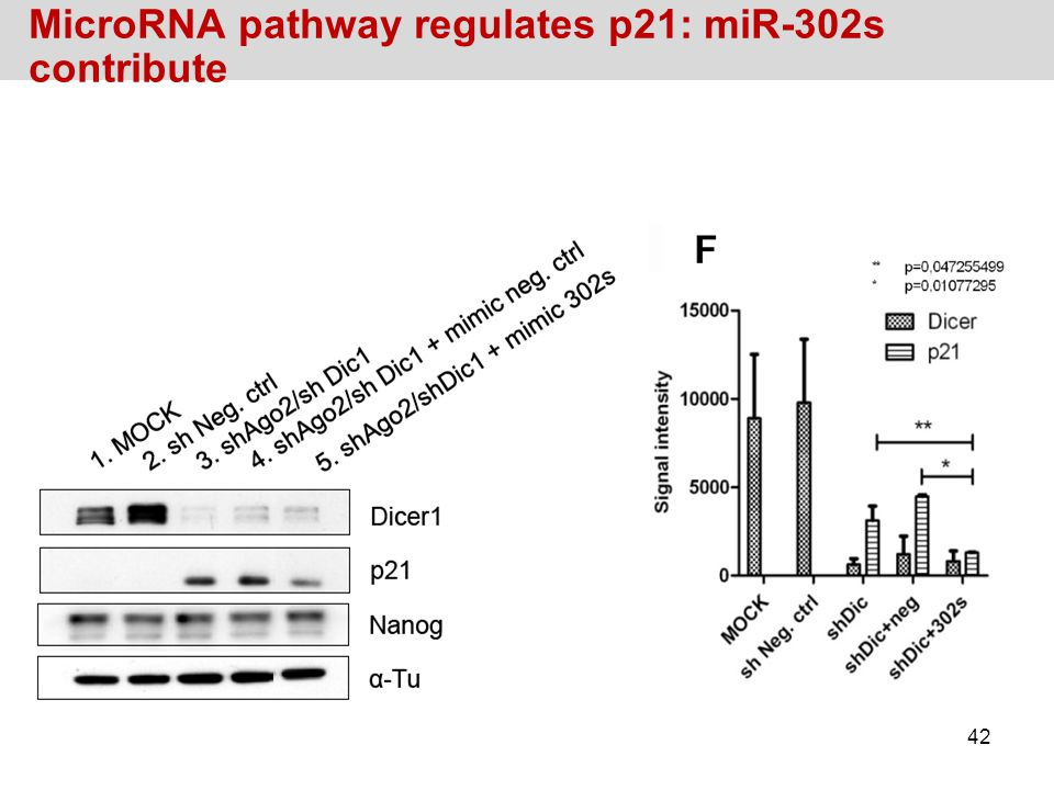 MicroRNA pathway regulates p21: miR-302s contribute