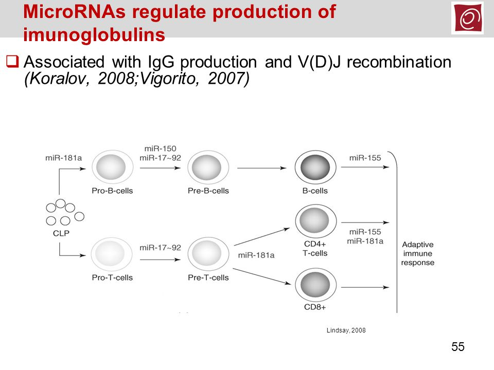 MicroRNAs regulate production of imunoglobulins