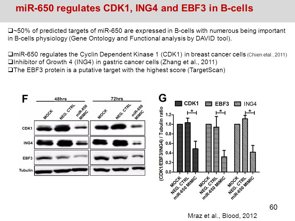 miR-650 regulates CDK1, ING4 and EBF3 in B-cells