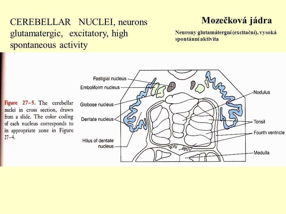CEREBELLAR NUCLEI, neurons glutamatergic, excitatory, high spontaneous activity
