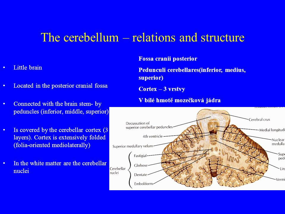 The cerebellum – relations and structure