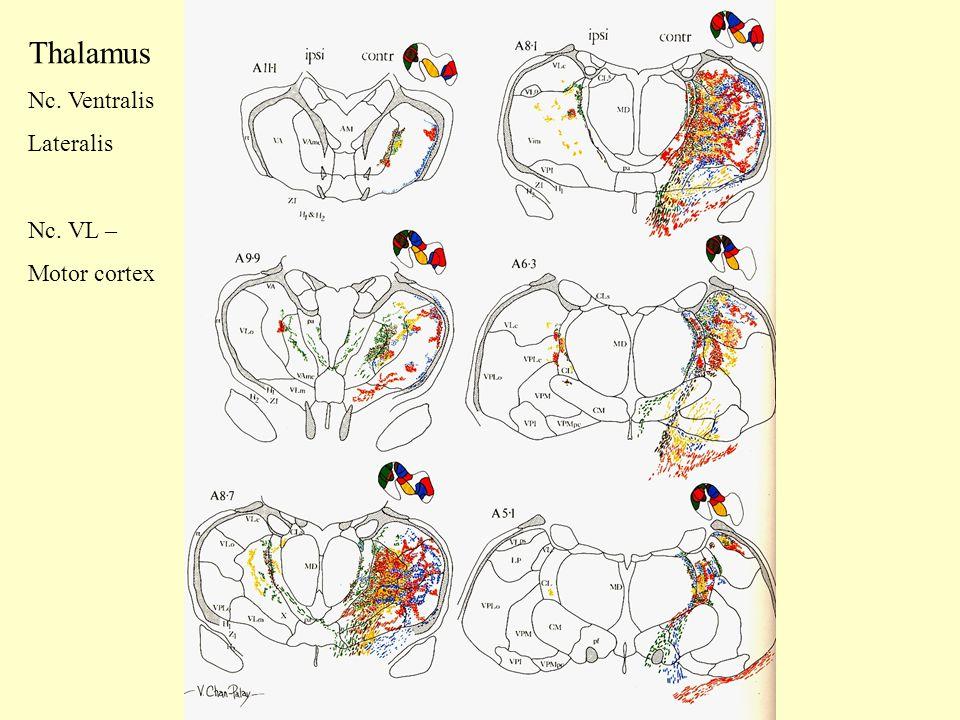 Thalamus Nc. Ventralis Lateralis Nc. VL – Motor cortex