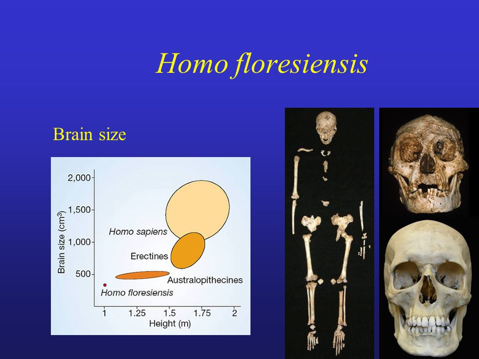 Homo floresiensis Brain size