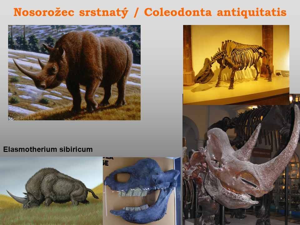 Nosorožec srstnatý / Coleodonta antiquitatis