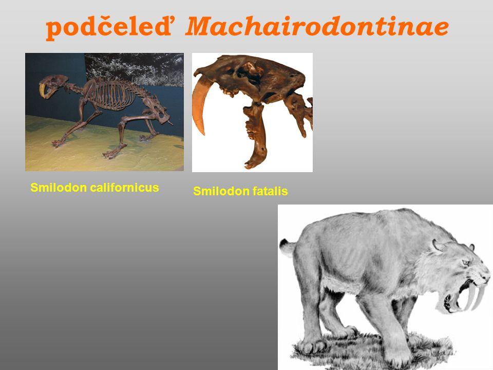 podčeleď Machairodontinae