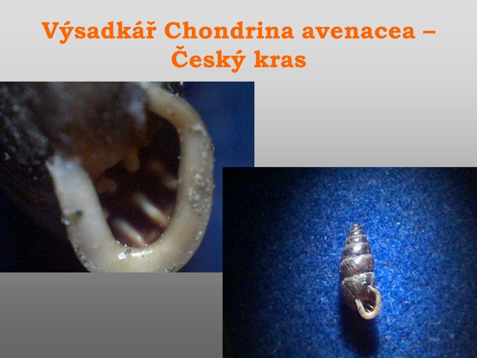 Výsadkář Chondrina avenacea – Český kras