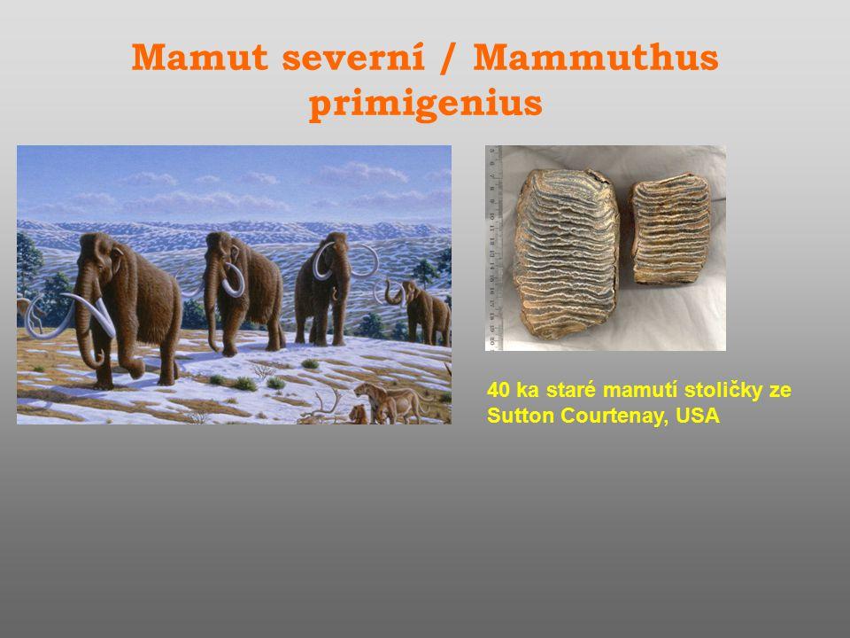 Mamut severní / Mammuthus primigenius