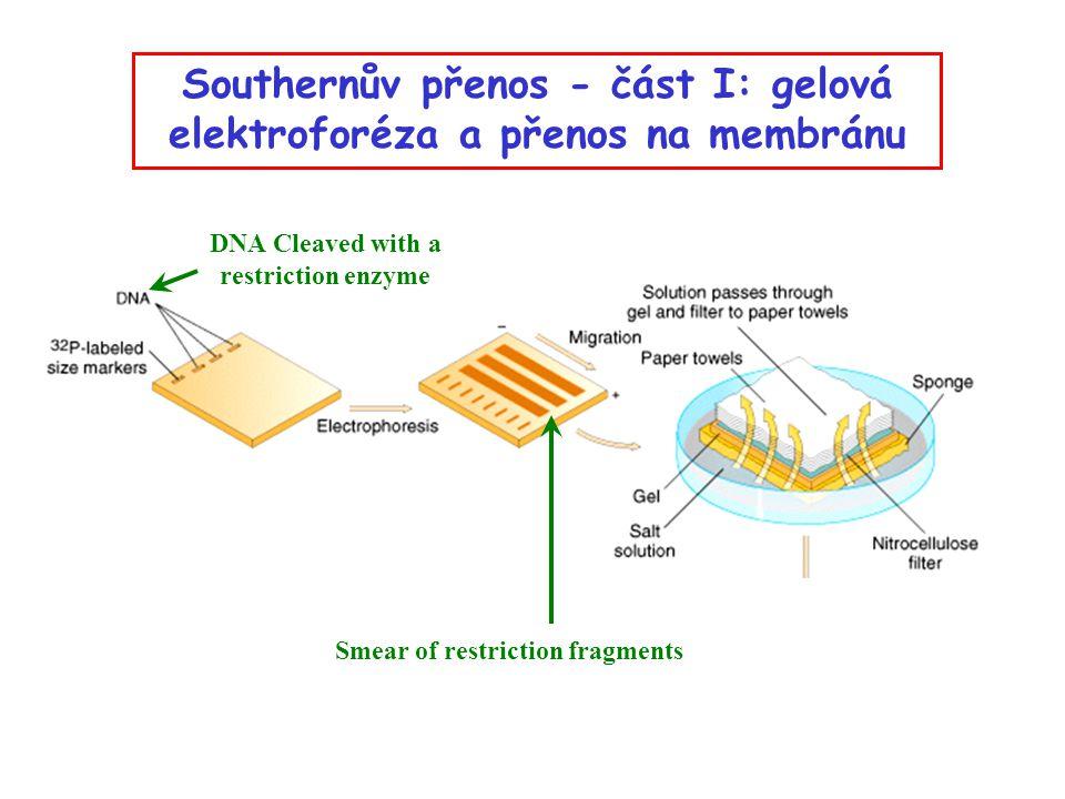 Southernův přenos - část I: gelová elektroforéza a přenos na membránu