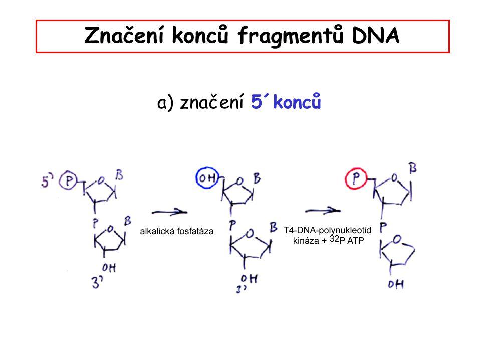 Značení konců fragmentů DNA