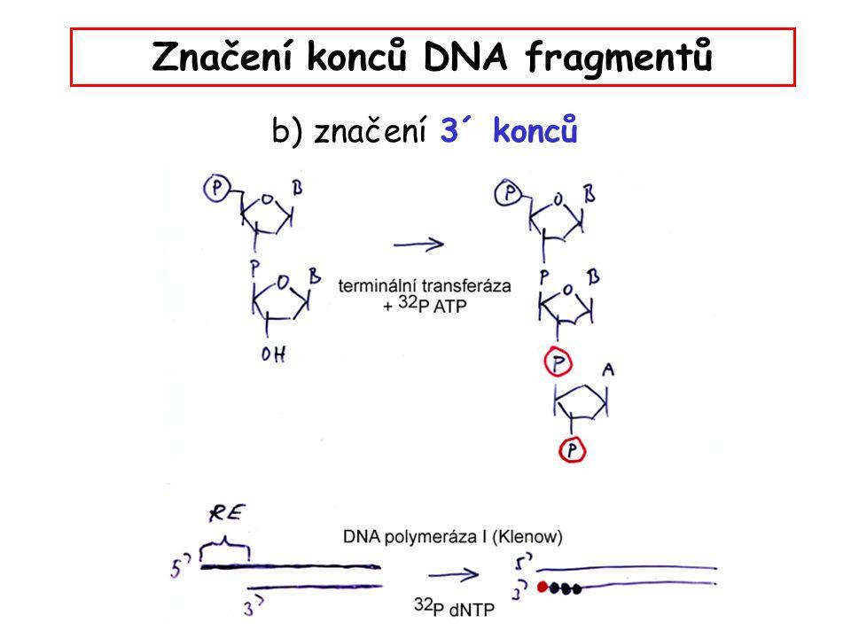 Značení konců DNA fragmentů