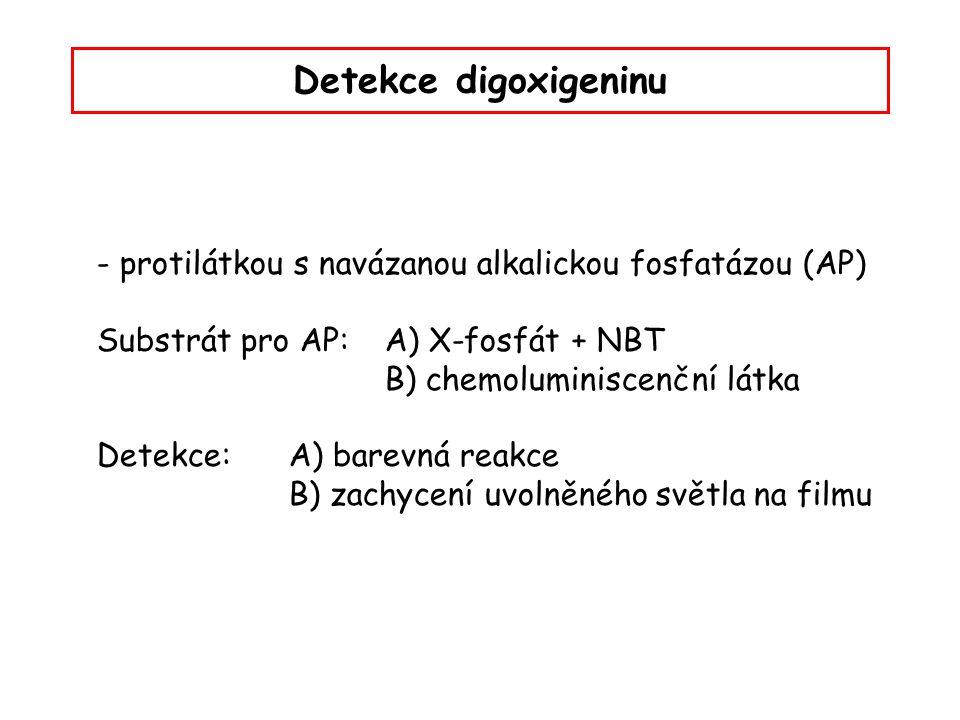 Detekce digoxigeninu - protilátkou s navázanou alkalickou fosfatázou (AP) Substrát pro AP: A) X-fosfát + NBT.