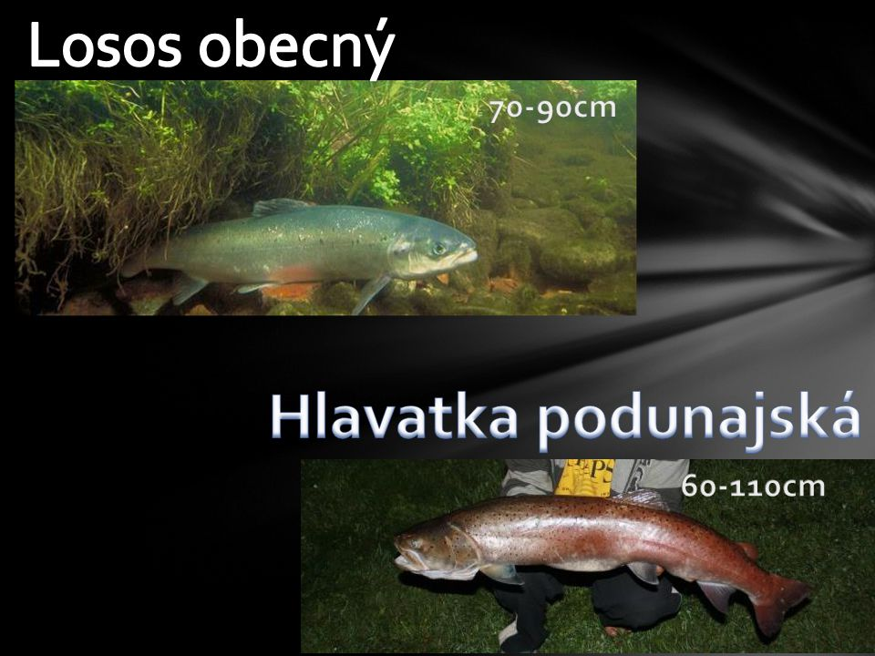 Losos obecný 70-90cm Hlavatka podunajská 60-110cm