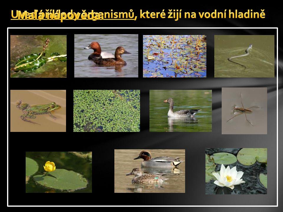 Uveď příklady organismů, které žijí na vodní hladině