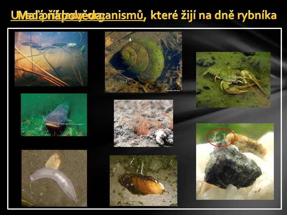 Uveď příklady organismů, které žijí na dně rybníka