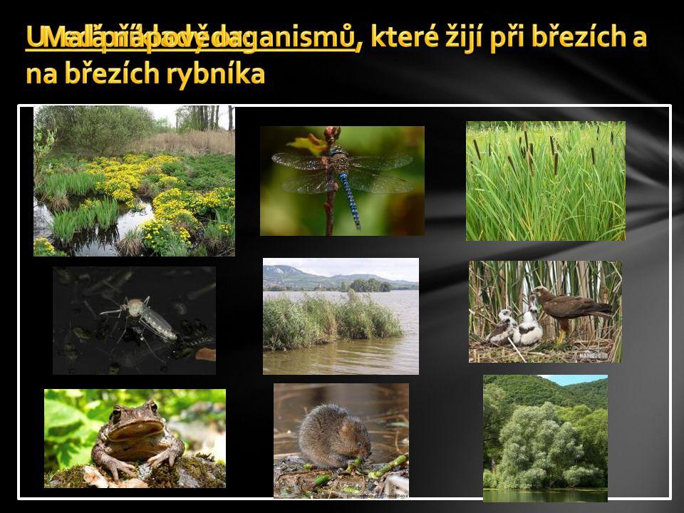 Uveď příklady organismů, které žijí při březích a na březích rybníka