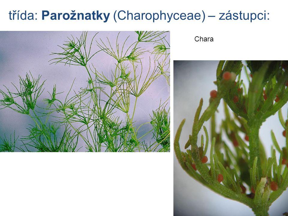 třída: Parožnatky (Charophyceae) – zástupci: