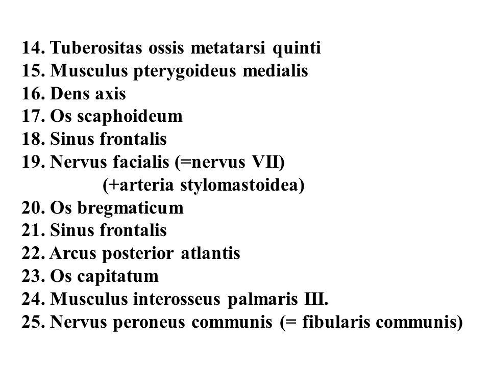 14. Tuberositas ossis metatarsi quinti