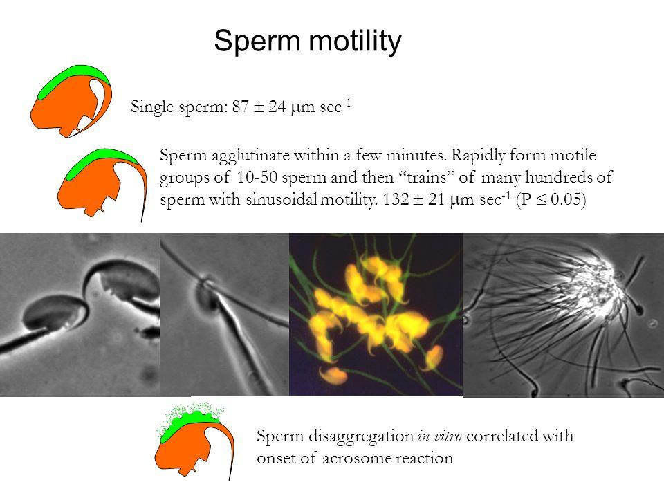Sperm motility Single sperm: 87  24 m sec-1