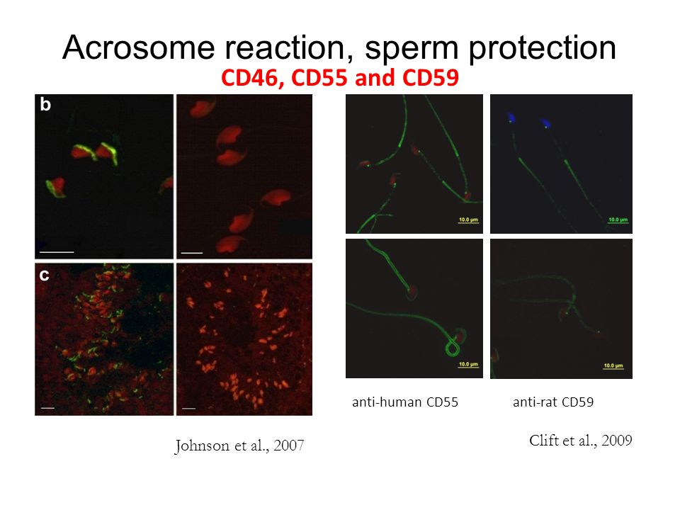 Acrosome reaction, sperm protection CD46, CD55 and CD59
