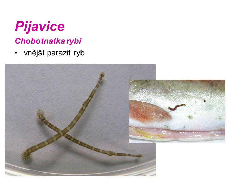 Pijavice Chobotnatka rybí vnější parazit ryb