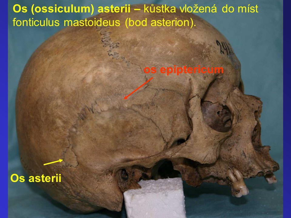 Os (ossiculum) asterii – kůstka vložená do míst fonticulus mastoideus (bod asterion).