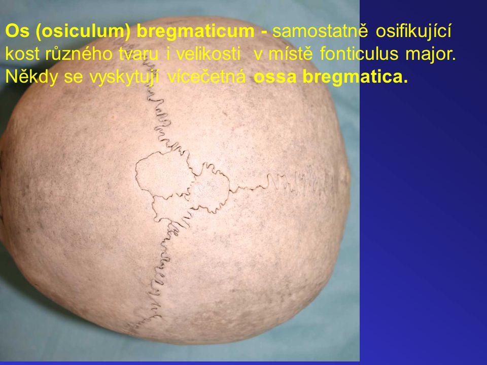 Os (osiculum) bregmaticum - samostatně osifikující kost různého tvaru i velikosti v místě fonticulus major.