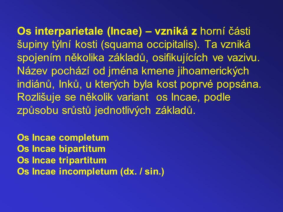 Os interparietale (Incae) – vzniká z horní části šupiny týlní kosti (squama occipitalis).