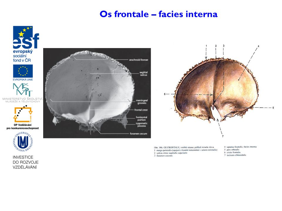 Os frontale – facies interna
