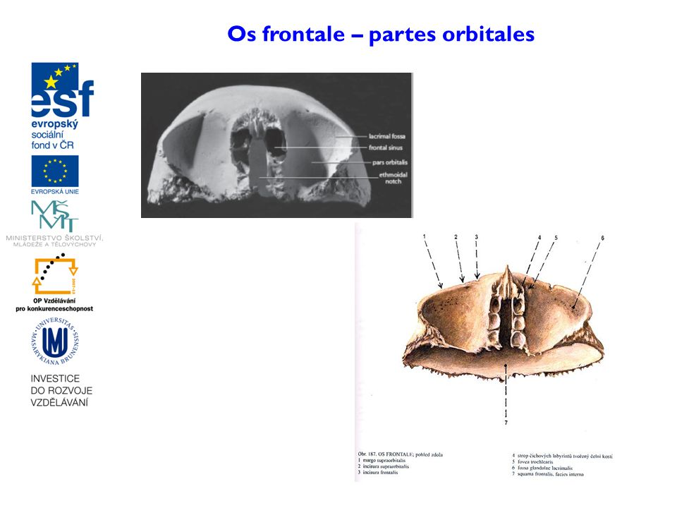 Os frontale – partes orbitales