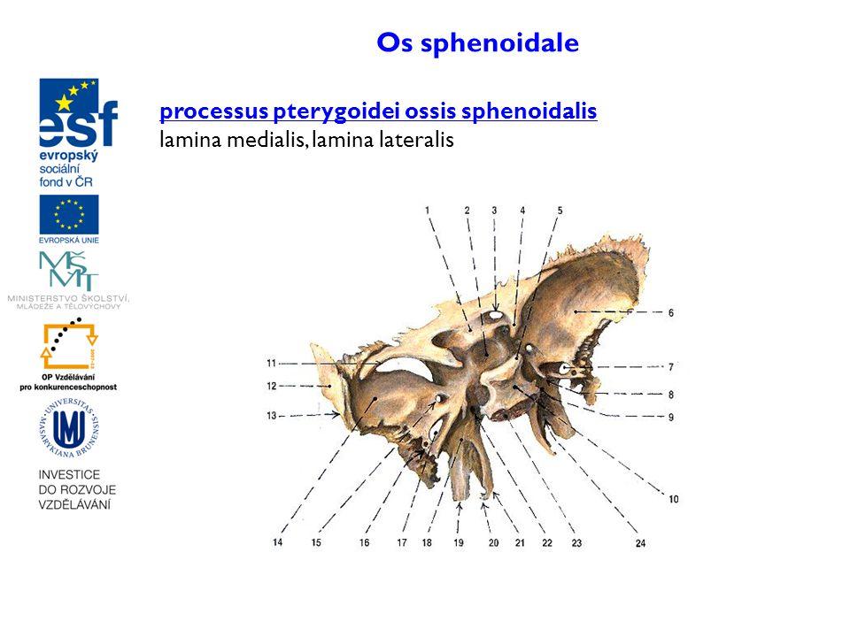 Os sphenoidale processus pterygoidei ossis sphenoidalis