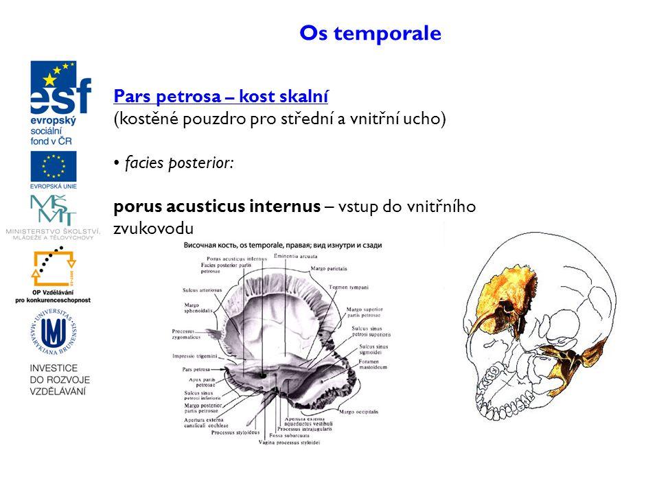 Os temporale Pars petrosa – kost skalní
