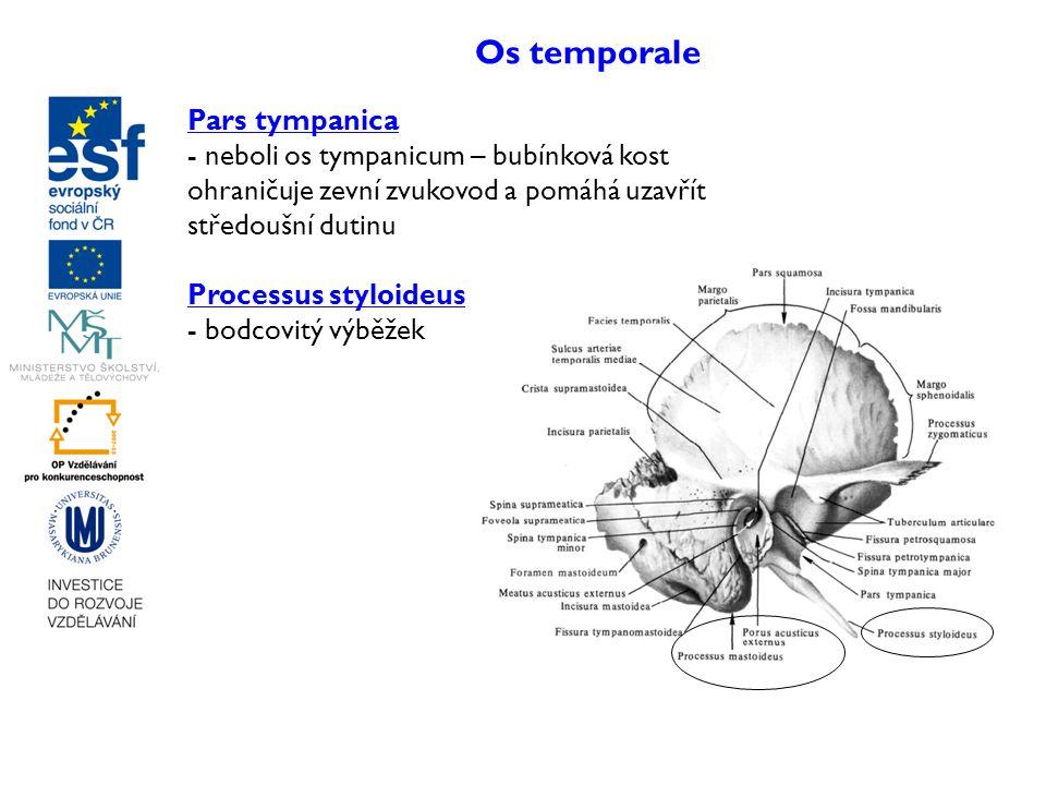 Os temporale Pars tympanica - neboli os tympanicum – bubínková kost