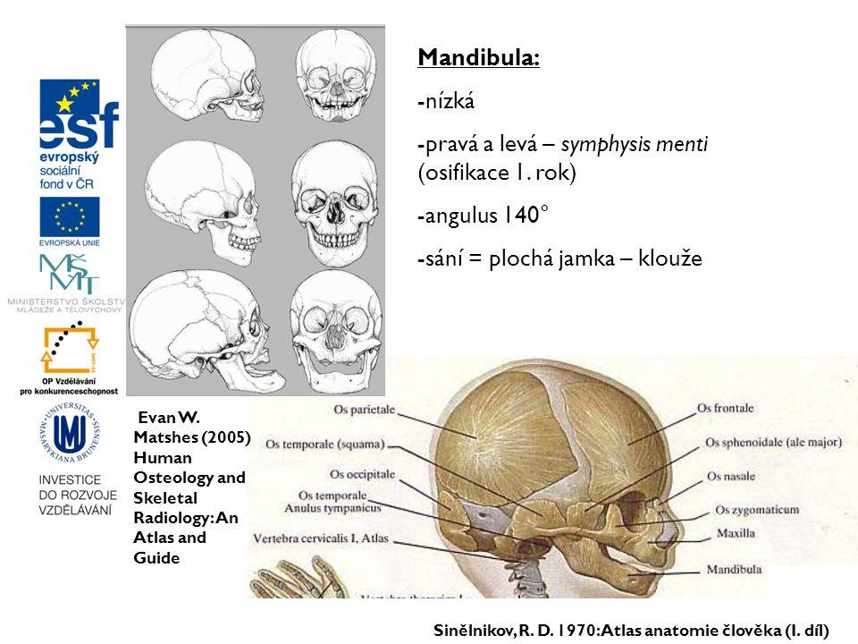 -pravá a levá – symphysis menti (osifikace 1. rok)