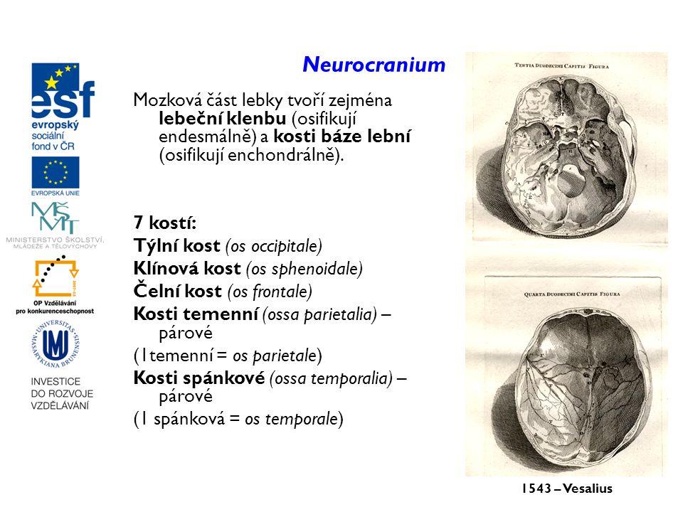 Neurocranium Mozková část lebky tvoří zejména lebeční klenbu (osifikují endesmálně) a kosti báze lební (osifikují enchondrálně).