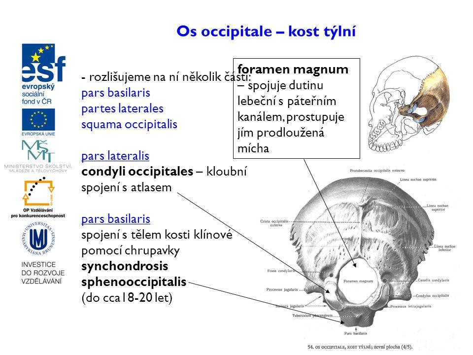 Os occipitale – kost týlní