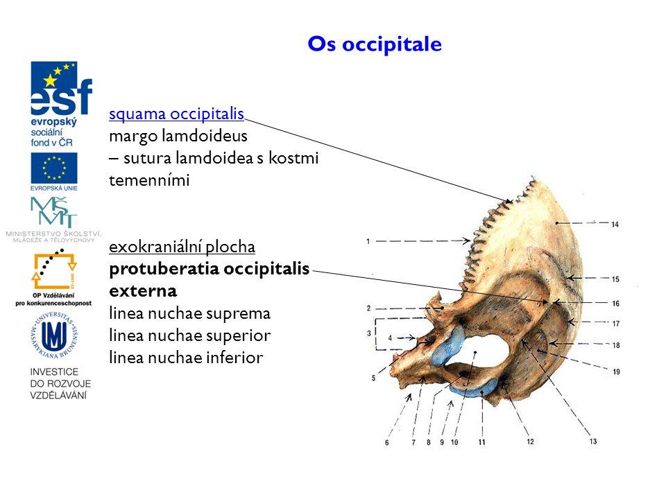 Os occipitale squama occipitalis margo lamdoideus