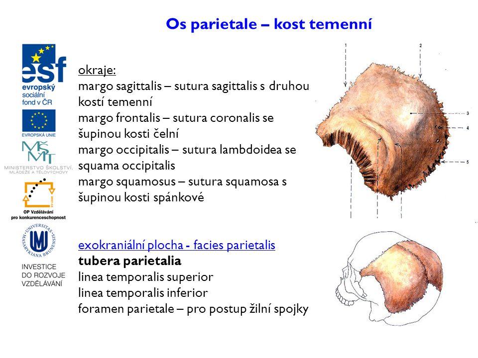 Os parietale – kost temenní